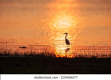 Colorful time, Great Egret standing in the lake in sunset light. Beautiful glittering water, golden and silver sparkling in the lake. Rural of Thailand. Summer season. Warm tone. Silhouette.