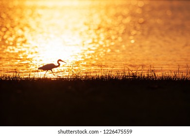 Colorful time, Great Egret walking in the lake in the sunset light. Beautiful glittering water backgrounds. Grass foregrounds. Warm tone. Silhouette. Golden and silver sparkling on the lake. Thailand.