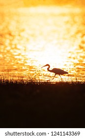 Colorful time, Great Egret walking in the lake in sunset light. Beautiful glittering water backgrounds. Grass foregrounds. Warm tone. Silhouette. Summer season. Rural Thailand. Colourful textured.