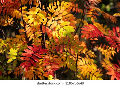 Colorful tree leaves in Finland. It's autumn.