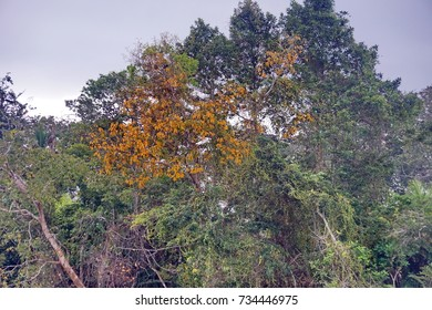 Colorful tree on the banks of the Cayapas River in Ecuador