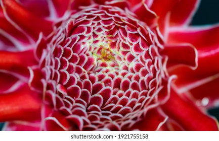 Colorful Troch Ginger (Etlinger Elation) Flower in the nature. Beautiful wet petals on a sunny spring day. Fibonacci mathematical sequence or golden ration found in nature.