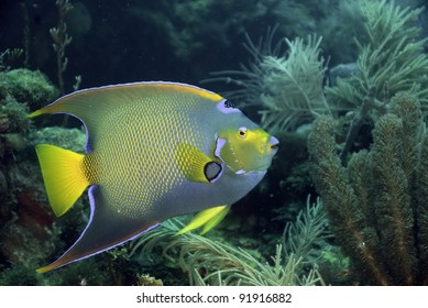 Colorful tropical Angelfish on natural coral reef