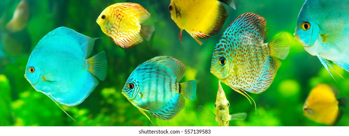 colorful tropical discus fish on green background, banner.