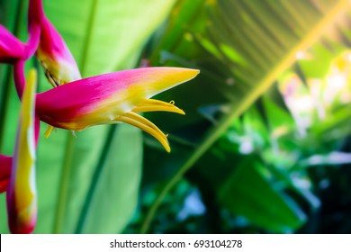 colorful tropical exotic sexy pink heliconia flower