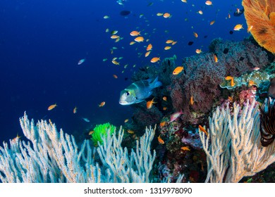 Colorful tropical fish around a thriving tropical coral reef in Asia