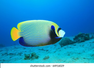 Colorful Tropical Fish - Emperor Angelfish