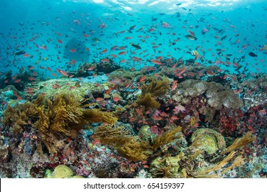 Colorful tropical fish, mainly Scalefin anthias, swim over a current-swept coral reef growing off the island of Flores in Indonesia. This beautiful region is extremely biodiverse.