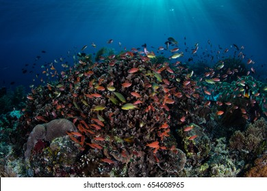 Colorful tropical fish, mainly Scalefin anthias, swim over a current-swept coral reef growing off the island of Alor in Indonesia. This beautiful region is extremely biodiverse.