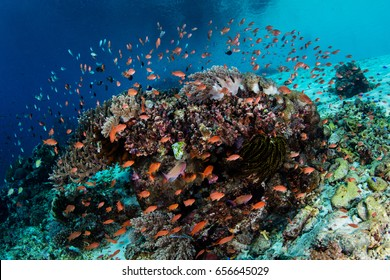 Colorful tropical fish, mainly Scalefin anthias, swim above a beautiful coral reef growing off the island of Alor in Indonesia. This beautiful region is extremely biodiverse.
