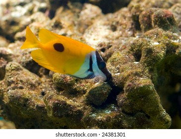 colorful tropical fish on a reef (this photo was maked in aquarium)
