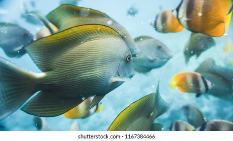 Colorful tropical fish swimming around the tropical island of Nusa Penida, Bali. A detailed view of the amazing underwater world. Fish in the background.
