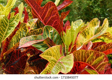 Colorful tropical foliage in summer, beautiful Leaf veins, natural garden background. - Shutterstock ID 1710845077