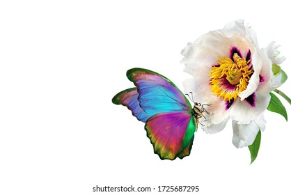 Colorful tropical morpho butterfly on a white peony flower in drops of water isolated on white. copy space
