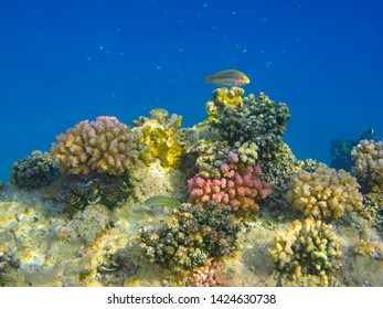 Colorful tropical reef with fish (Klunzinger's wrasse) and blue ocean. Snorkeling on the beautiful coral reef. Underwater photograpy, marine wildlife. Shallow corals in the blue sea and wrasse.