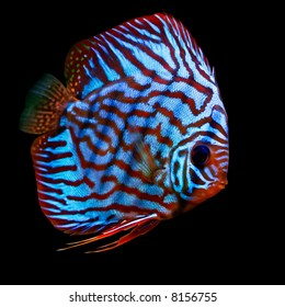 a colorful tropical Symphysodon discus fish red turquise variant