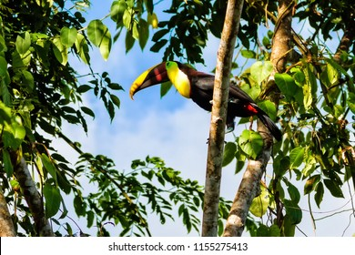 Colorful tucan in the wild, Corcovado National Park, Costa Rica