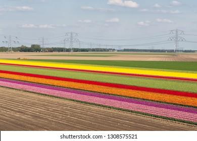 Colorful tulip field with electricity pylons in Noordoostpolder, the Netherlands