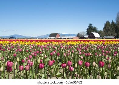 Colorful tulip field, tulip festival in Skagit, WA