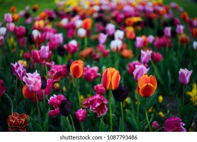 Colorful tulip field. Shallow Depth of Field