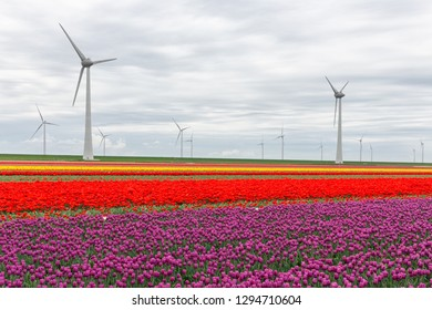 Colorful tulip fields with big wind turbines in the Netherlands