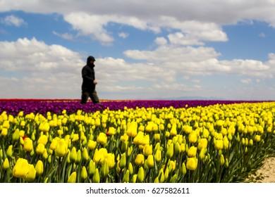 colorful tulip fields garden