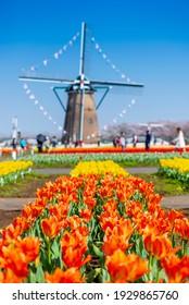 colorful tulip fields and Netherlands windmill background, Sakura city, Chiba, Japan