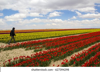 colorful tulip fields spring
