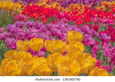 Colorful tulip flower bed, Toyama, Japan