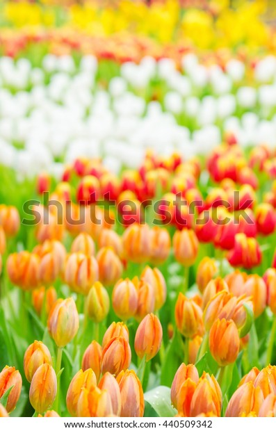 Colorful tulip flower in garden , Rayong Thailand, selective focus for background.