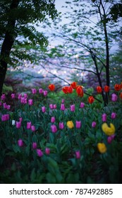 Colorful Tulip Flower in South Korea