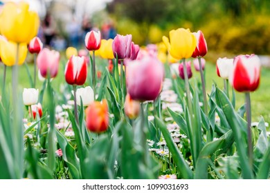 Colorful Tulip Flowers Close-Up In Netherlands Garden
