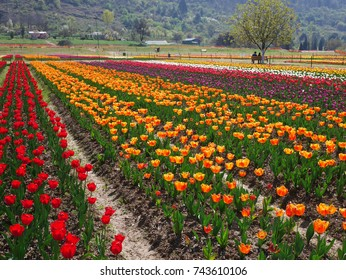 Colorful tulip garden in Srinagar, Kashmir, India