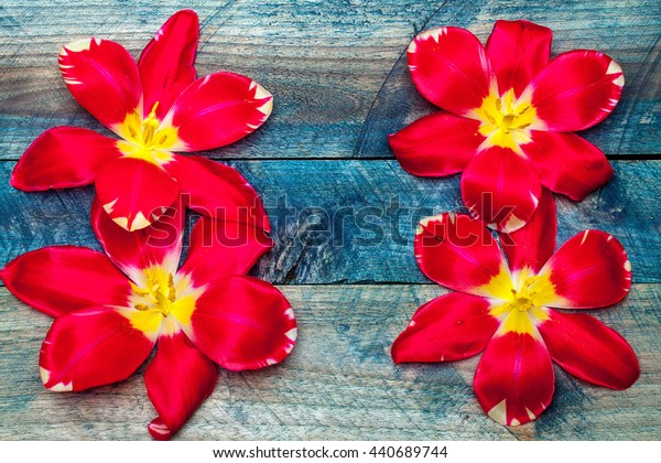 Colorful tulip heads flowers petals decoration on blue wooden background