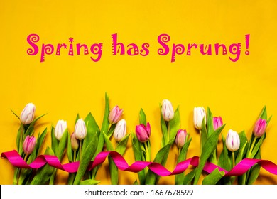 Colorful Tulip, Spring Flowers, Text Spring Has Sprung, Ribbon, Yellow Background