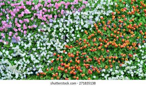 colorful tulip wallpaper bird eye view for background