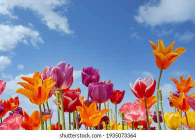Colorful tulips against a blue sky with white clouds
