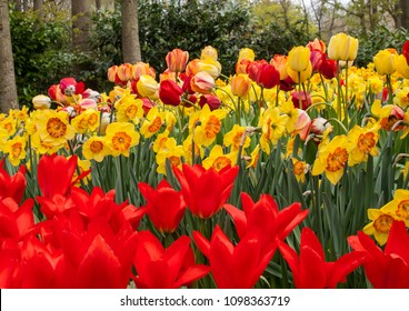 colorful tulips and daffodils  blooming in a garden