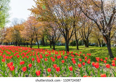 Colorful tulips field in spring season at Tokiwa park.Asahikawa ,Hokkaido