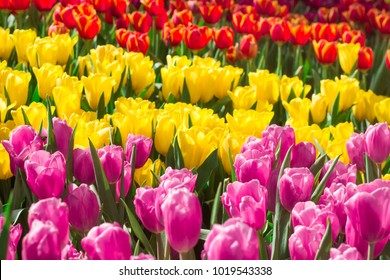 Colorful tulips in the flower garden.