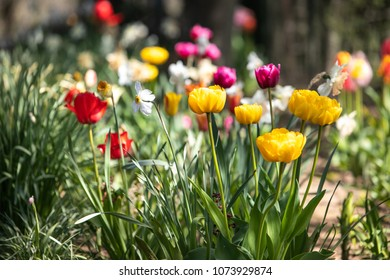 colorful tulips in garden