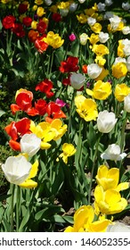 Colorful Tulips in a Garden