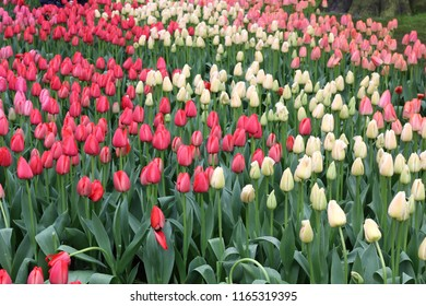 A lot of colorful tulips at the garden in Netherlands.