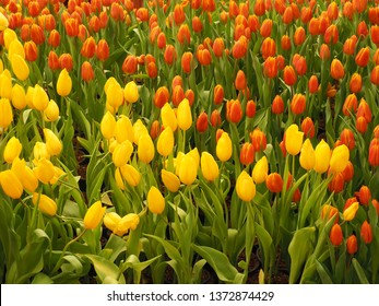 Colorful tulips in the garden, selective focus