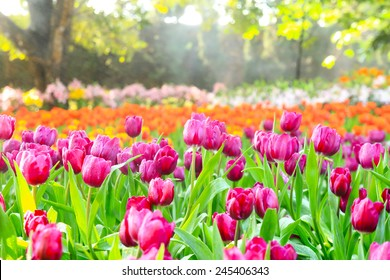 colorful tulips  garden in spring