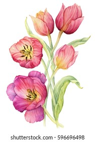 Colorful tulips, isolated on white background. Card for Mothers day, 8 March, wedding. Watercolor painting.