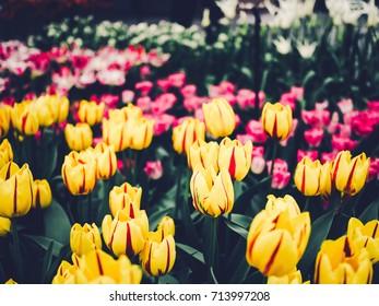 Colorful tulips at Keukenhof