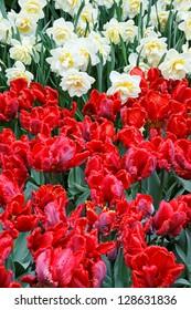 Colorful Tulips in Keukenhof Garden.