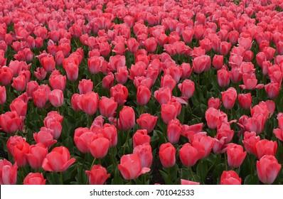 Colorful Tulips, Kyoto Botanical Garden, Japan