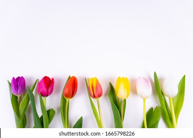 Colorful tulips laying in a row on white background with copy space